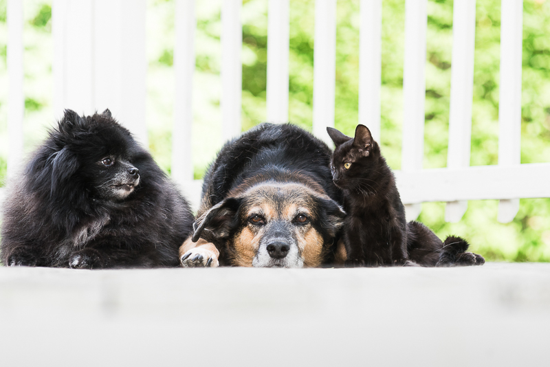 Pomeranian, mixed breed dog, and small black kitten on deck | © Alice G Patterson Photography #MyUnspokenPet