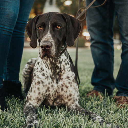 Engaging Tails:  Huxley the German Shorthaired Pointer
