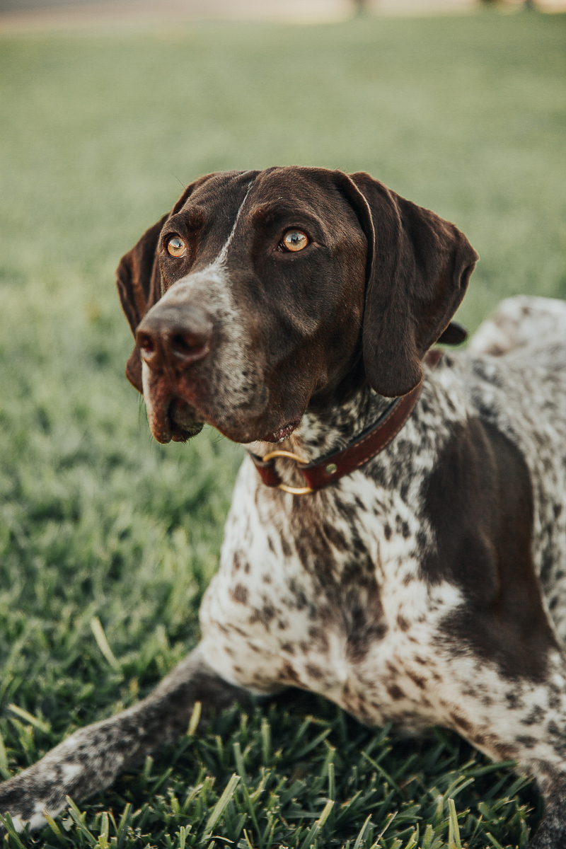 Handsome German Shorthaired Pointer | Joshua and Parisa | Austin Wedding Photographer and Videographer