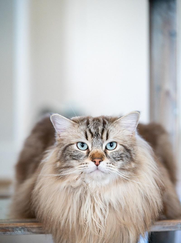 handsome cat   Nada Khalaf-Jones-Skyborn Visual Studios, lifestyle cat portraits
