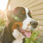 Happy Tails:  Ruby Sue The Bernese Mountain Dog