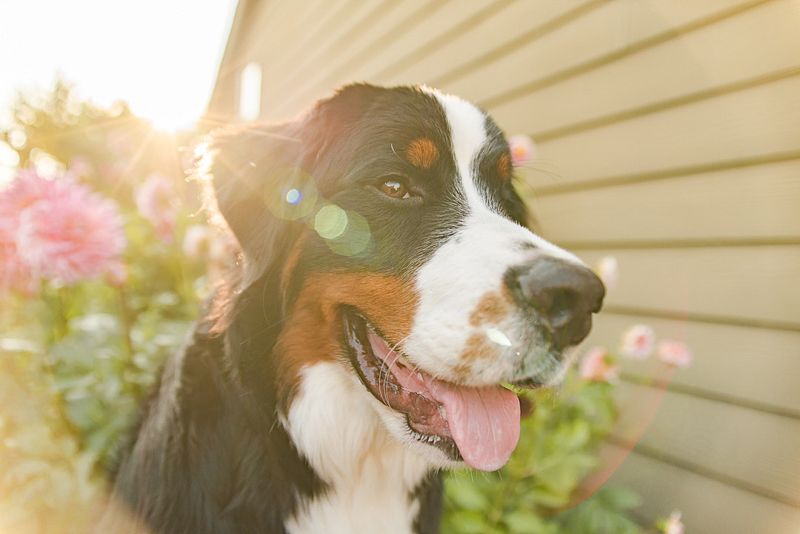 happy BMD, summer dog photography ideas | ©Pearls & Pines Photography