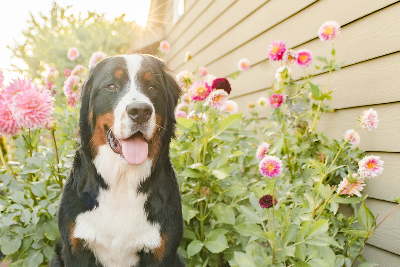 on location dog photography, dog and flowers, pink dahlias | ©Pearls & Pines Photography