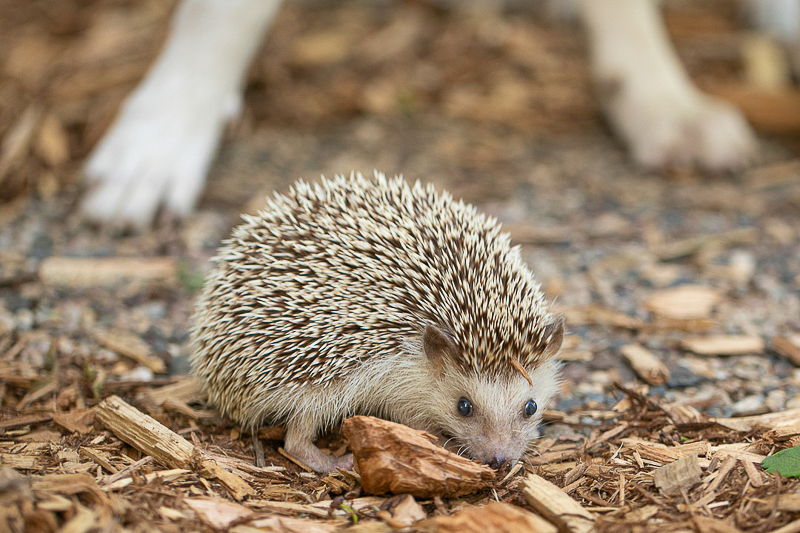 fun animal friends, dog and hedgehog | ©K Schulz Photography. MN Pet Portraits