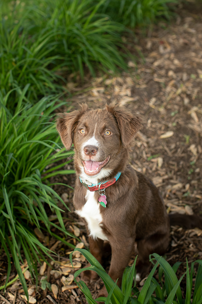 cute retriever puppy in the yard ©K Schulz Photography | lifestyle Minnesota Pet Photography