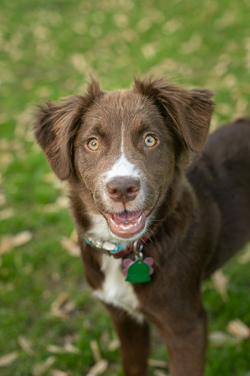 cute Toller mix puppy | ©K Schulz Photography, MN Pet Portraits