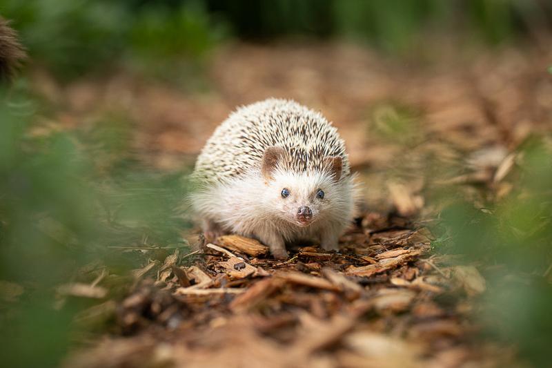 cute hedgehog in the garden | ©K Schulz Photography. MN Pet Portraits
