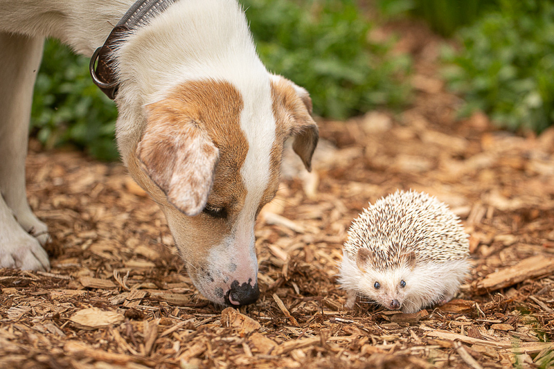 dog and hedgehog in the yard | ©K Schulz Photography