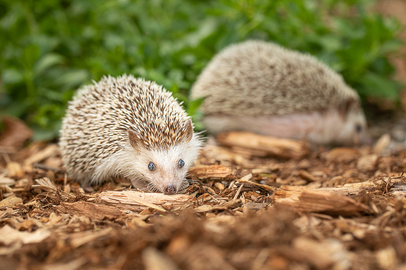 hedgehogs in the yard | ©K Schulz Photography. MN Pet Portraits