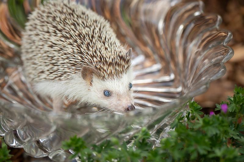 Hedgehog in the garden, MN pet photography ©K Schulz Photography
