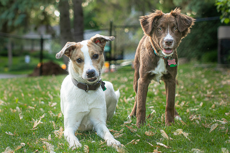 two dogs in the yard, lifestyle dog photography, ©K Schulz Photography
