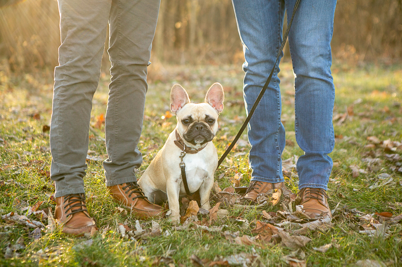 Cute French Bulldog sitting on the ground, ©Mandy Whitley Photography | pet photography ideas, College Grove, TN