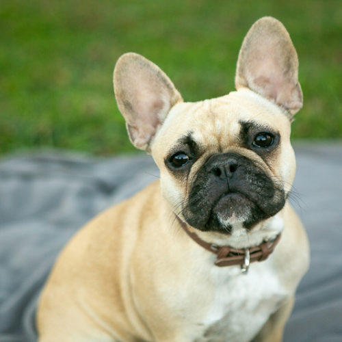 Happy Tails:  Olive the French Bulldog | Nashville, TN