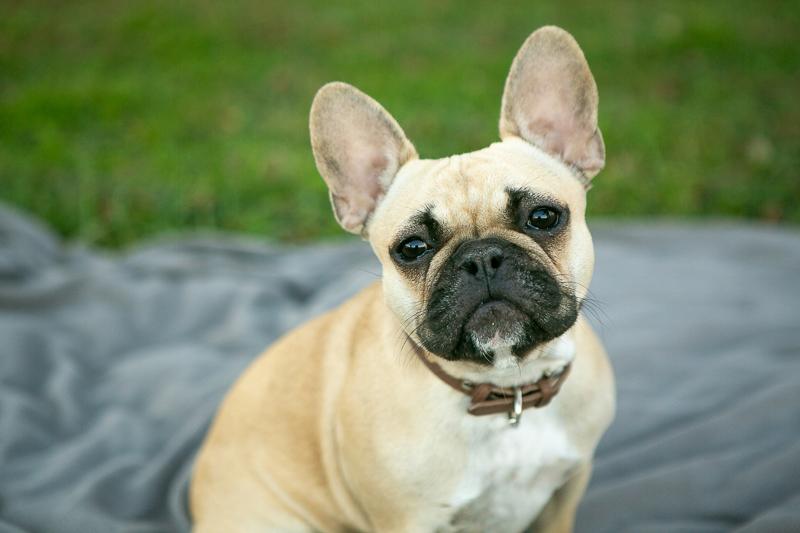 fawn French Bulldog, ©Mandy Whitley Photography, Nashville, TN