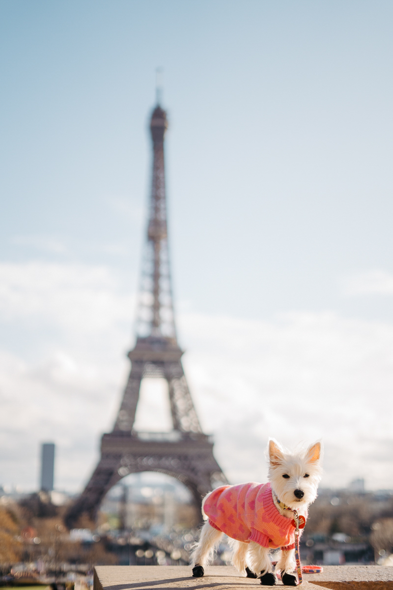 Westie in Paris, West Highland Terrier | dog photography ideas ©Février Photography