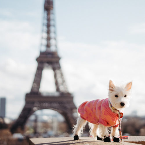 Happy Tails:  Treasure (the Westie) in Paris