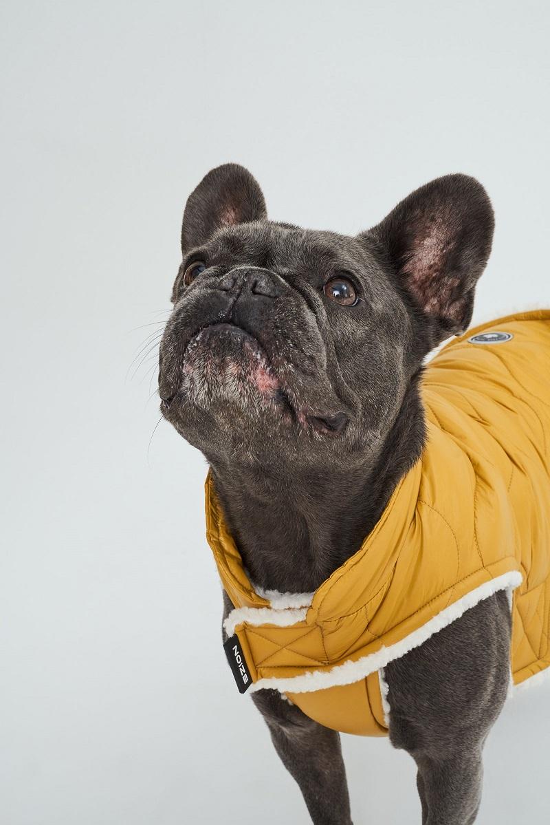 French Bulldog wearing citrine vegan dog coat by Noize