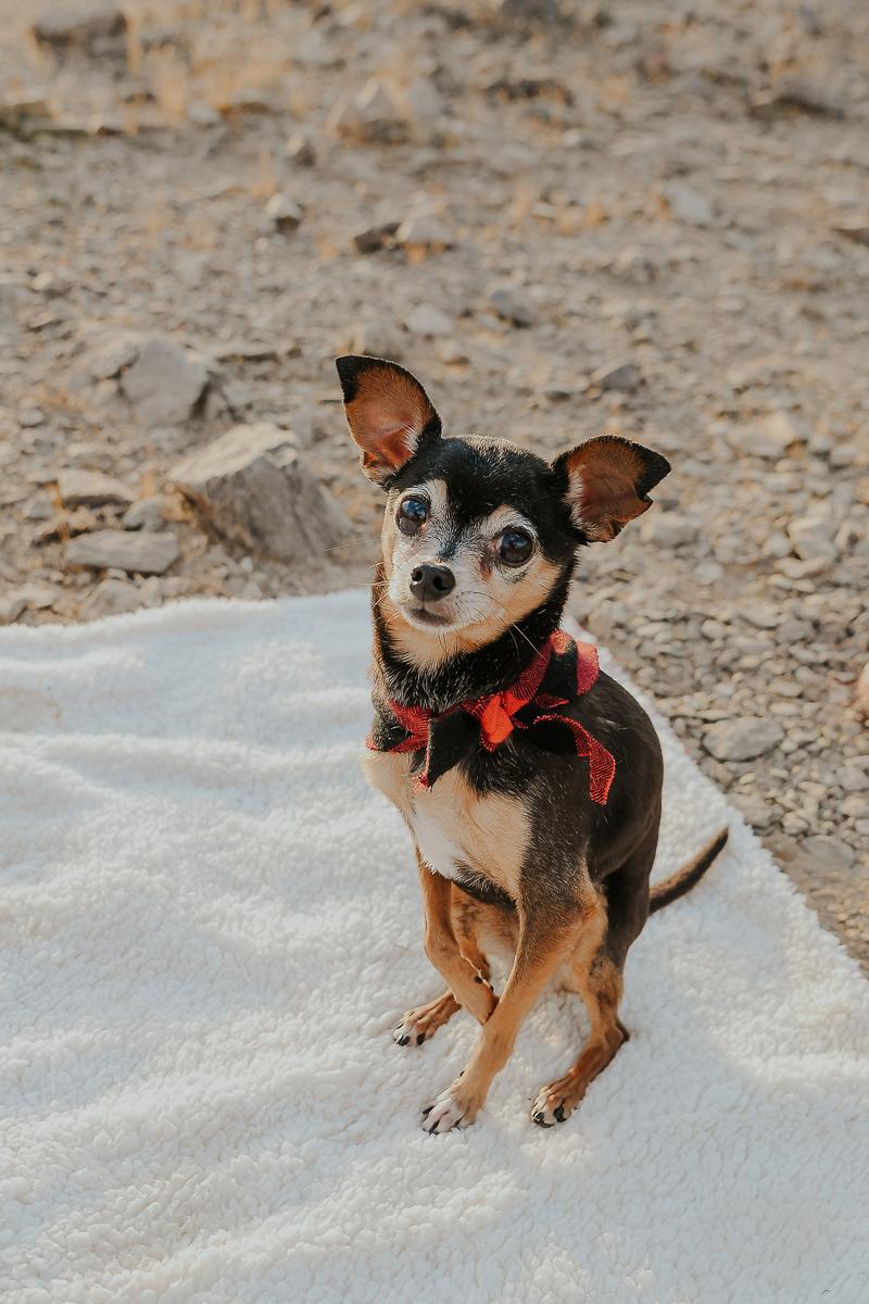cute Chihuahua mix wearing red buffalo plaid bandana | © Ali Tso Photography | dog-friendly holiday photos