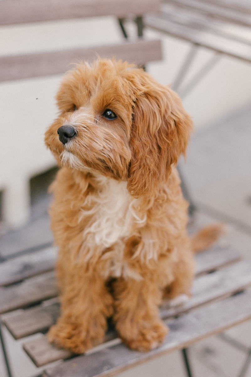 cute Cavapoo, West Hollywood pet photography | ©Jasmine Marie Photography