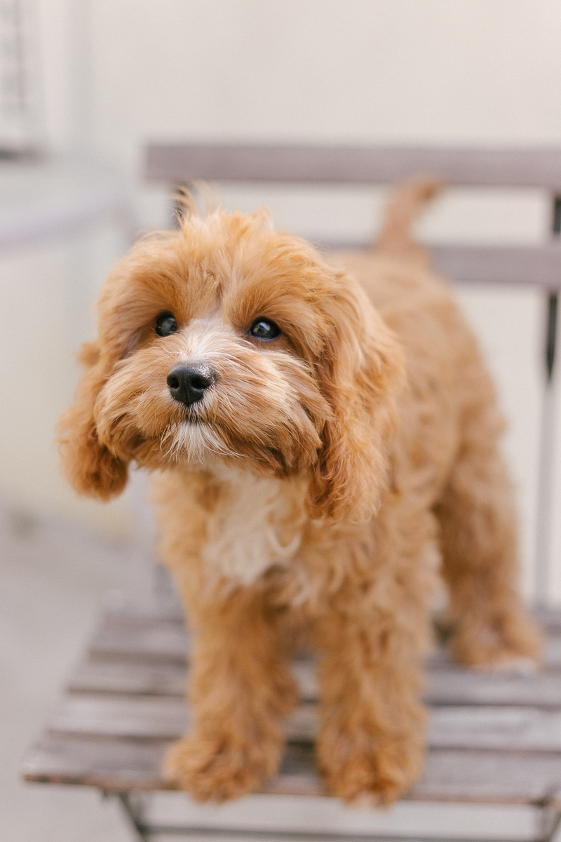 ©Jasmine Marie Photography | West Hollywood pet photography , cute Cavapoo (Cavalier/Poodle mix)