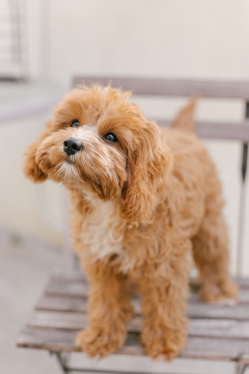 cute puppy standing on wood patio chair | ©Jasmine Marie Photography | West Hollywood pet-friendly lifestyle photography