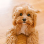 Puppy Love:  Luna Bear The Cavapoo