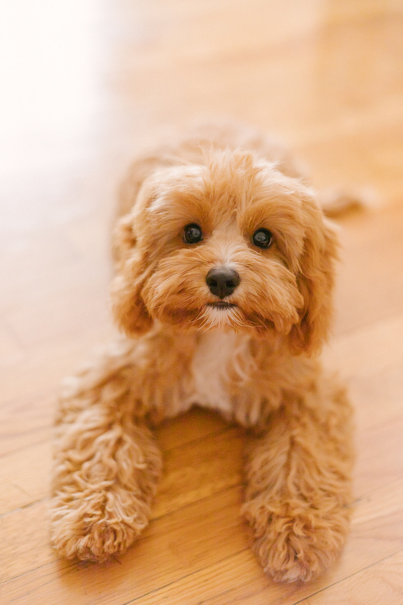 Adorable Cavapoo, Poodle mix | ©Jasmine Marie Photography | lifestyle dog photography
