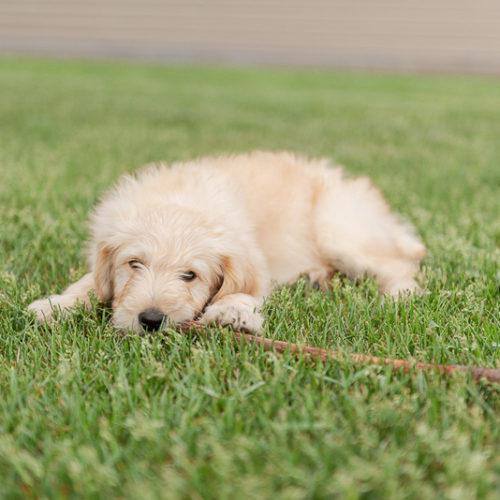 Puppy Love:  Birdie the Goldendoodle | Sartell, MN