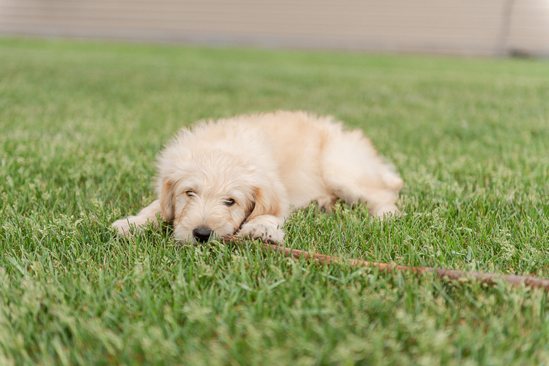 adorable Goldendoodle puppy chewing on a stick, summer dog photography ideas | ©Samantha Rule Photography