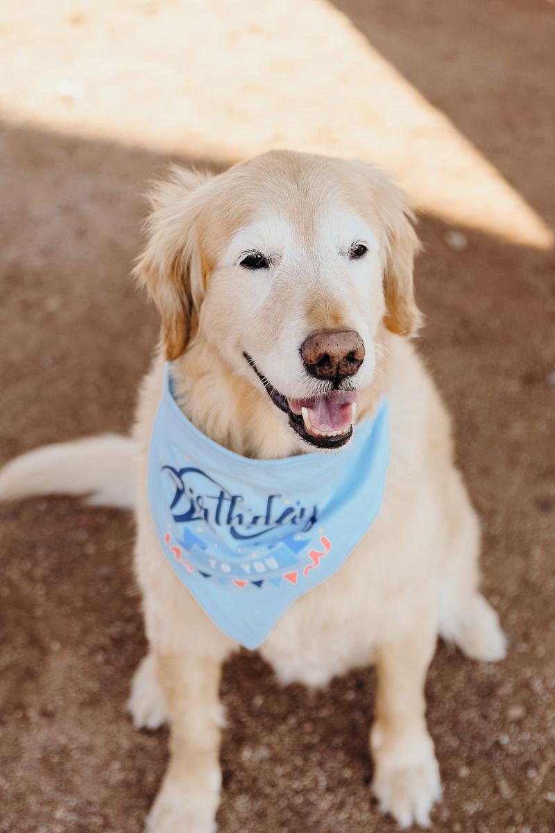 senior Golden Retriever wearing birthday bandana | ©Ali Tso Photography