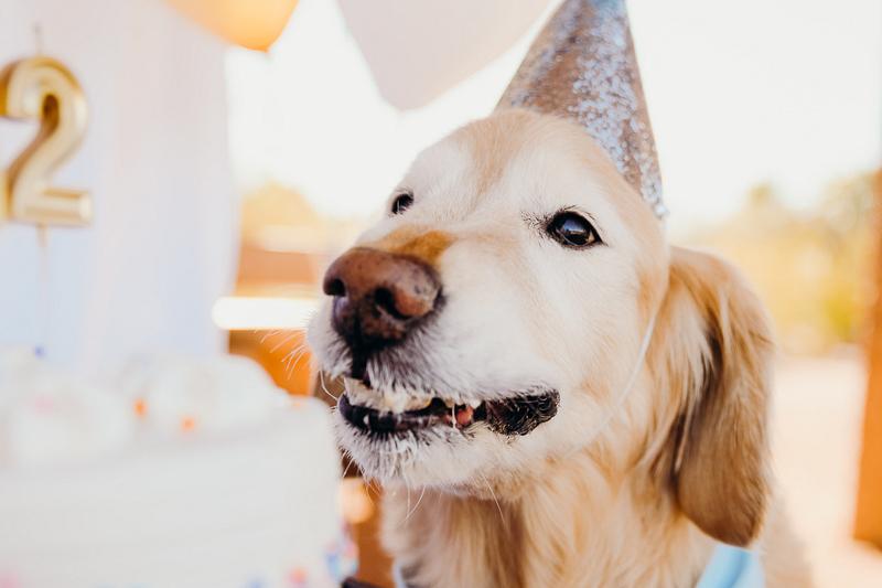 happy dog eating cake, birthday celebration for a senior Golden Retriever | ©Ali Tso Photography