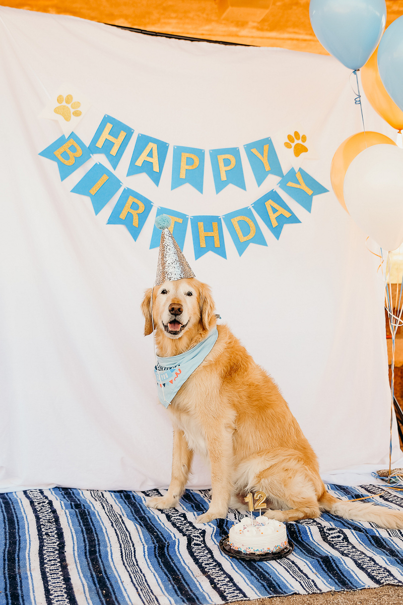Birthday party for a dog, Golden Retriever wearing silver party hat, ©Ali Tso Photography