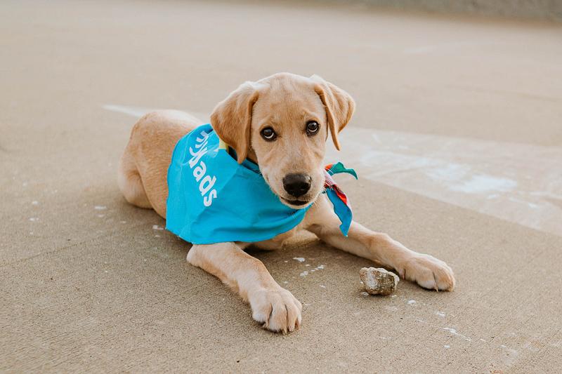 adorable Yellow lab puppy lying on pavement wearing blue bandana | ©Stevie Nicole Photography