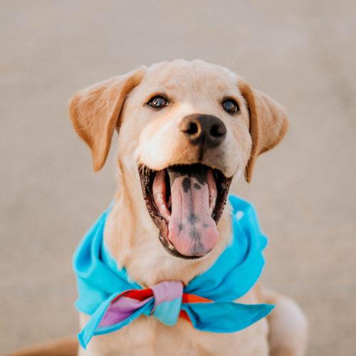 Puppy Love:  Tucker the Yellow Lab | Kansas City, MO