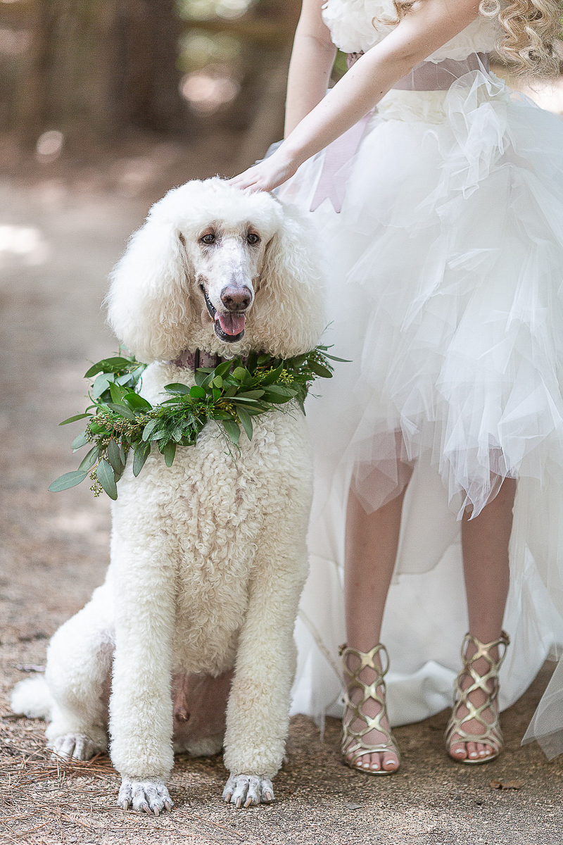 bridal portraits with white poodle | ©C. Baron Photography