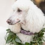Best Wedding Dog:  Rupert the Poodle | Chateau Cocomar