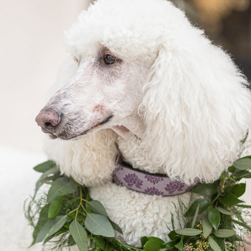 Best Wedding Dog:  Rupert the Poodle | Chateau Cocomar