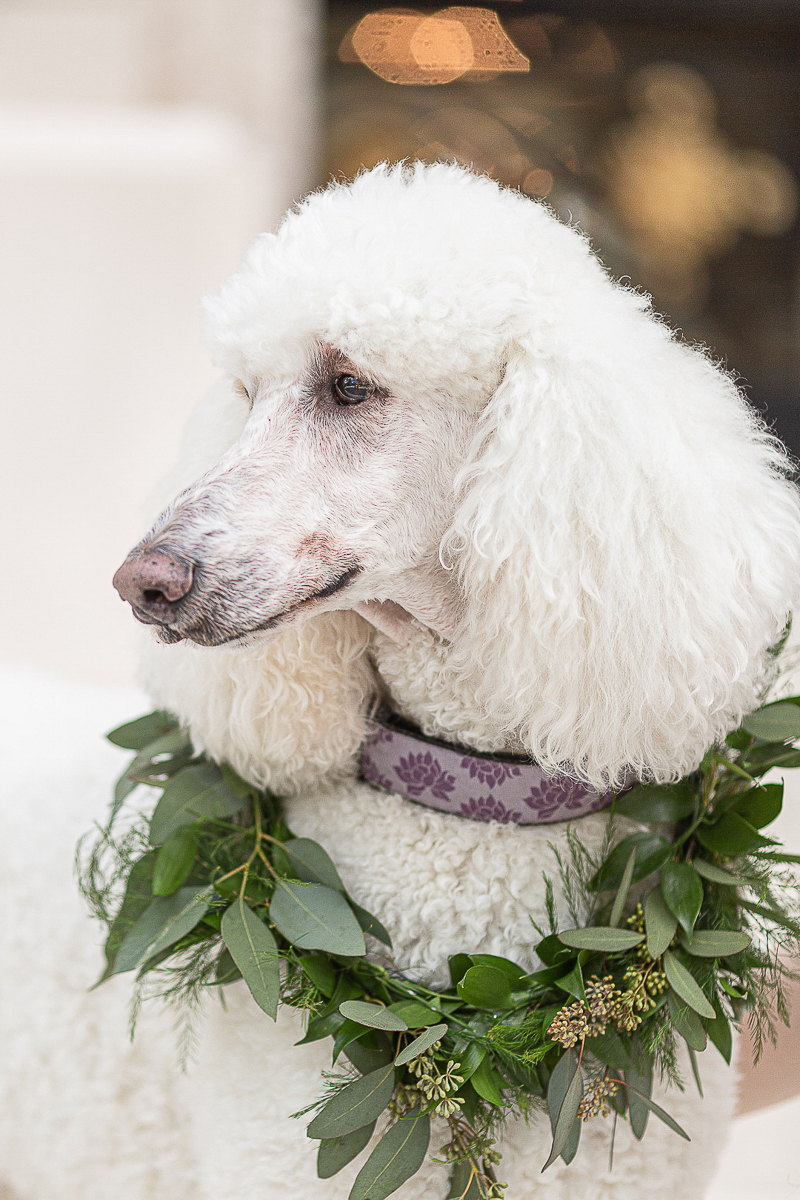 handsome white Poodle wearing floral collar, wedding dog ideas, ©C. Baron Photography