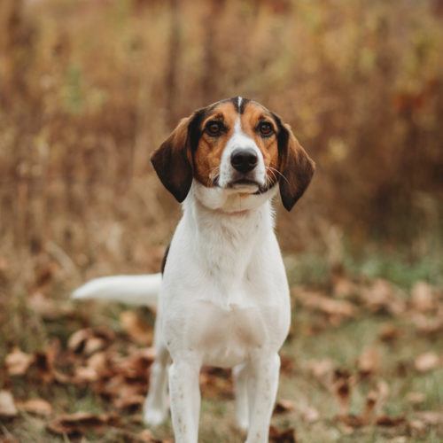 Happy Tails: Snoopy the Beagle | Lafayette, IN