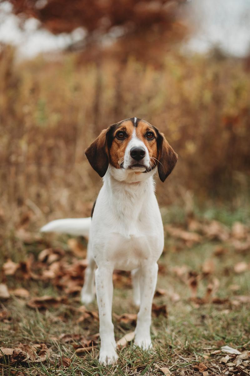 handsome beagle, dog photography ideas ©Samantha Mitchell Photography | Lafayette, Indiana