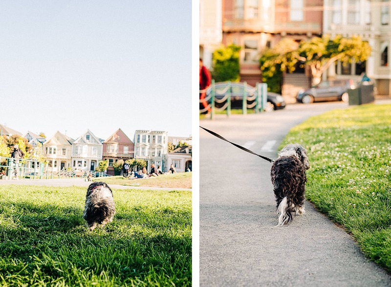 small poodle mix at San Francisco dog park | ©misterdebs photography | San Francisco dog photography
