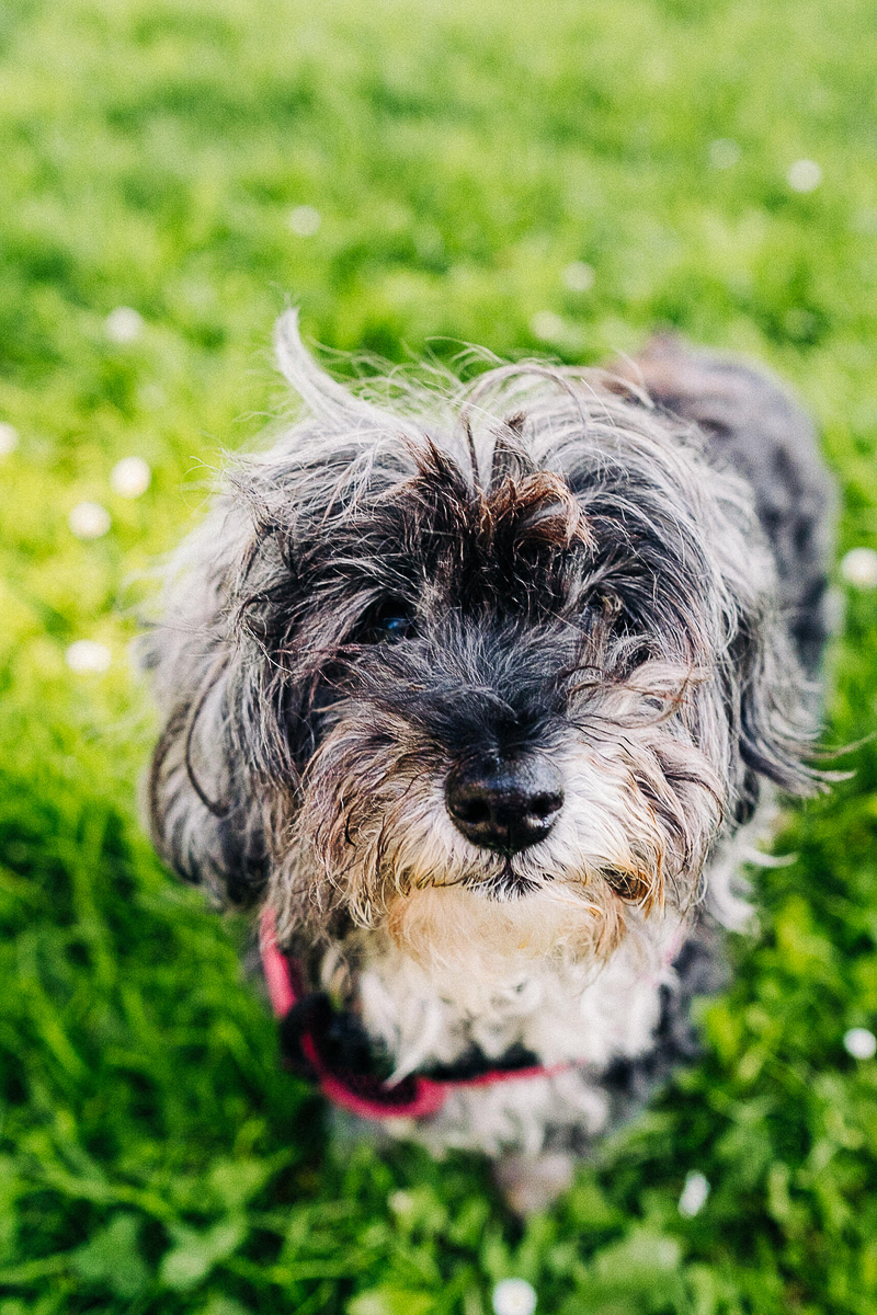 cute toy poodle mix, SF dog photography   ©misterdebs photography