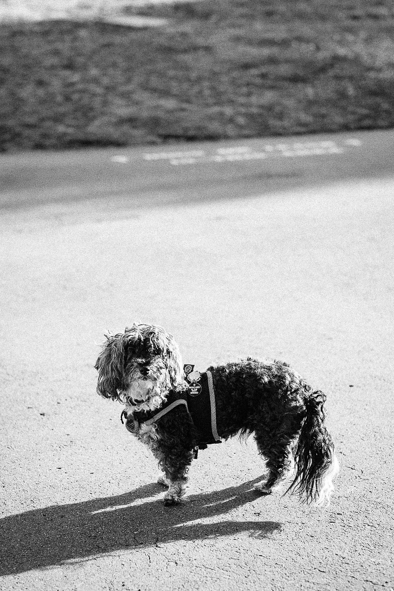 black and white photo of small dog standing | ©misterdebs photography | dog photography