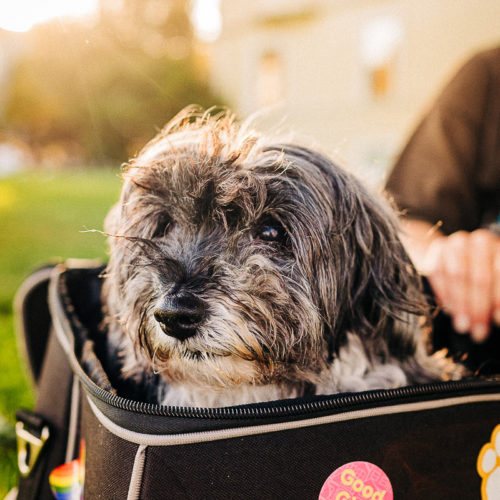 Happy Tails:  Layla the Poodle Mix | San Francisco