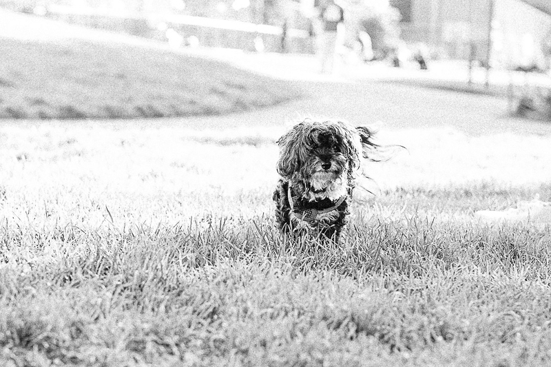 cute senior dog in the grass, black and white dog photography | ©misterdebs photography