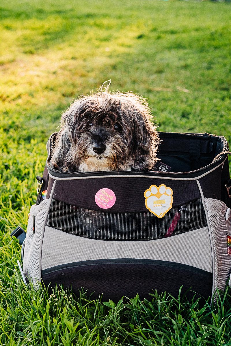 cute senior pup in backpack, lifestyle dog photography ideas | ©misterdebs photography| San Francisco
