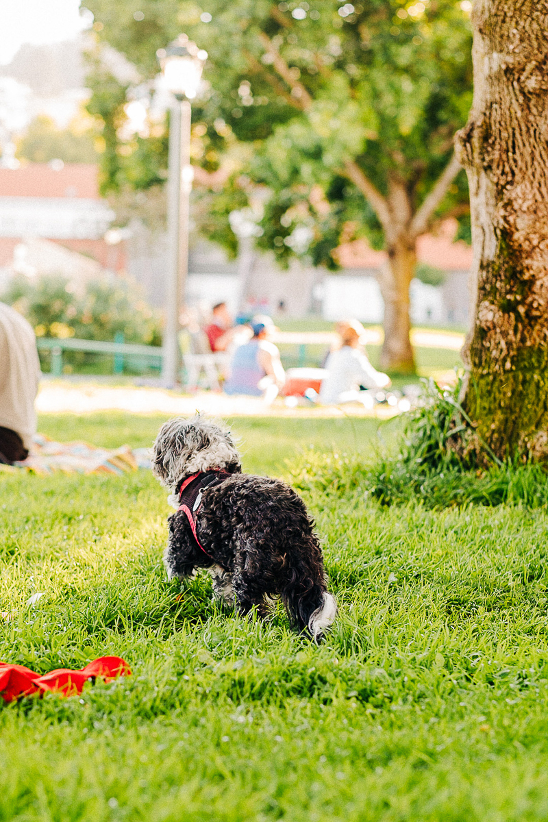 small black and gray poodle mix in dog park   ©misterdebs photography   San Francisco dog photographer