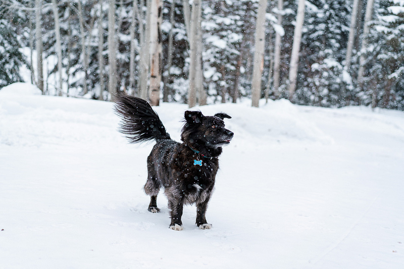 small black dog playing in the snow | ©AW Creates. Brian Head, Utah