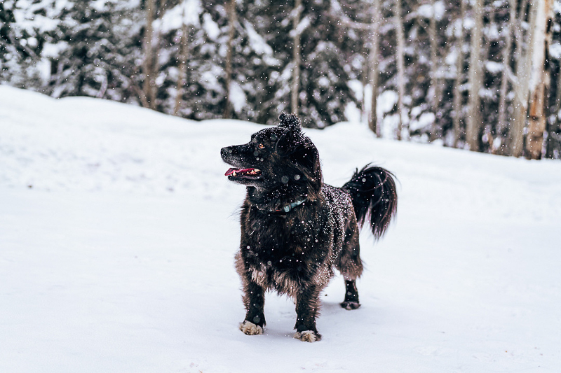 black dog playing in the snow