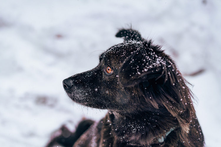 handsome black dog in snow